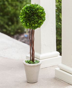 Boxwood Topiary, 20""