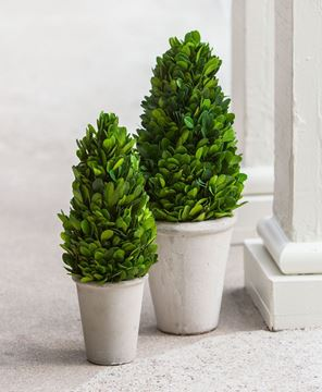 Boxwood Cone Topiary, 11""