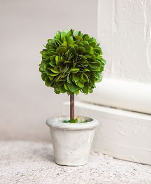 Mini Boxwood Topiary, 6½""