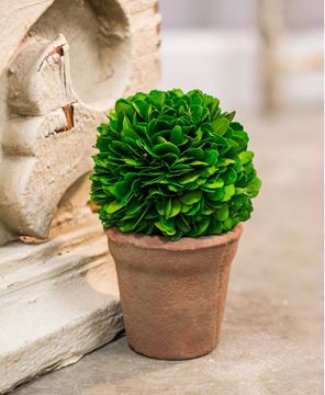 Picture of Potted Boxwood Ball - 4""