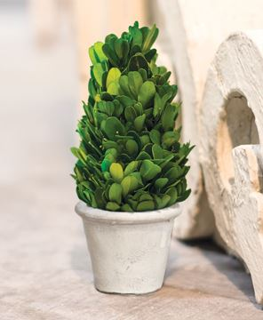 Picture of Mini Boxwood Cone Topiary